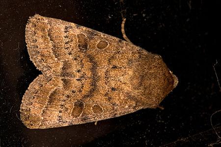 Hoplodrina octogenaria, Lodz(Poland)01(js).jpg