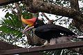 Hornbill (23971060183).jpg