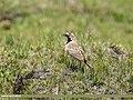 Horned Lark (Eremophila alpestris) (35424586890).jpg
