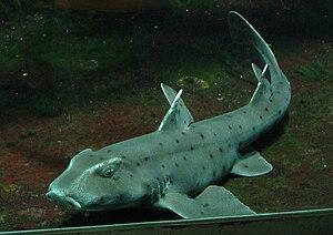 Bullhead shark - Horn shark, Heterodontus francisci