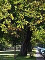 Horsechestnut trees lining Westbury Park - geograph.org.uk - 249034.jpg