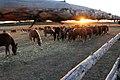 Horses in the Chernobyl zone.jpg