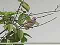 House Sparrow (Passer domesticus) (15700623108).jpg