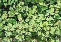 Houttuynia cordata in Jardin des 5 sens (2).jpg
