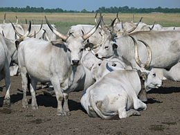 Hungarian Grey Cattle.jpg