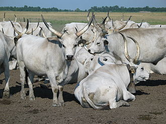 Cultural landscape - Hungarian Grey Cattle in Hortobágy National Park.