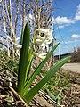Hyacinthus orientalis sl2.jpg