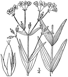 <i>Hypericum majus</i> species of plant