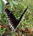 Hypolimnas bolina - Great Eggfly at Thillankeri 02.JPG