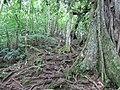 Iʻi roots (7374384128).jpg