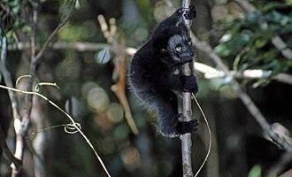 Indri - Image: INDRI 1