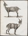 Ibex alpinus - 1700-1880 - Print - Iconographia Zoologica - Special Collections University of Amsterdam - UBA01 IZ21300165.tif