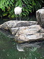 Ibis in the City Botanic Gardens (5278884082).jpg