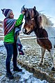 Icelandic Horses (16468592872).jpg