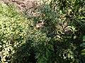 Ichnocarpus frutescens (8287202406).jpg