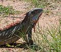 Iguana from Vereda del Lago.jpg
