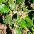 Ilex aquifolium in Aveyron (7).jpg