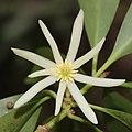 Illicium anisatum (flower s2).jpg