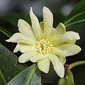 Illicium anisatum (flower s4).jpg