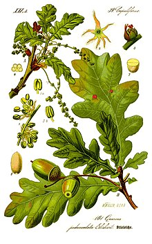 Illustration Quercus robur0 clean.jpg