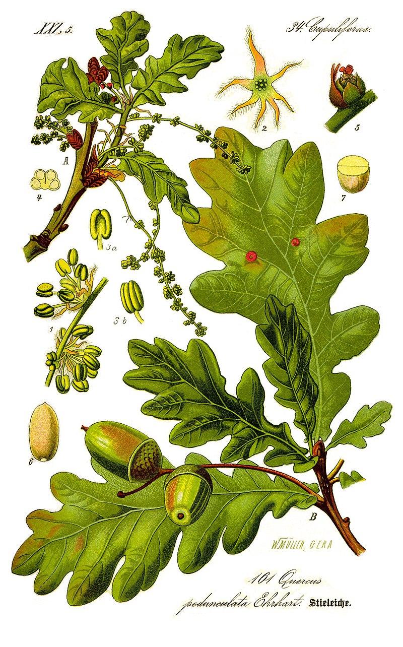 《德意志、奧地利和瑞士植物誌》 (1885), Quercus pedunculata