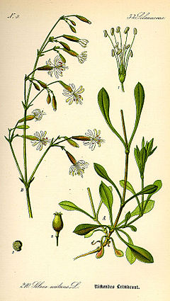 Illustration Silene nutans0.jpg