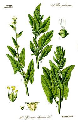 Echter Spinat (Spinacia oleracea)