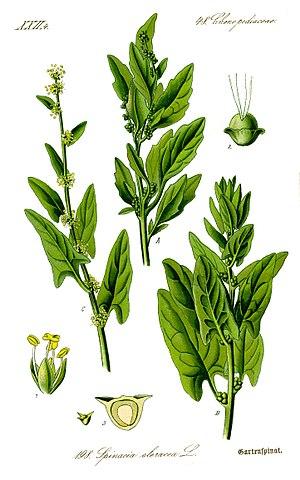 Spinacia - Spinacia oleracea from Otto Wilhelm Thomé's 1885 Flora von Deutschland, Österreich und der Schweiz