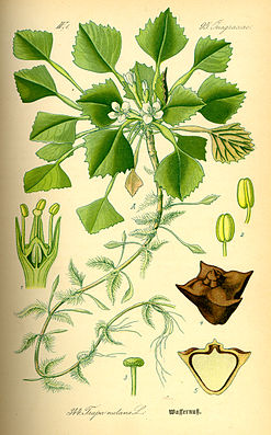 Wassernuss (Trapa natans)