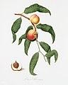 Illustration from Pomona Italiana Giorgio Gallesio by rawpixel00006.jpg