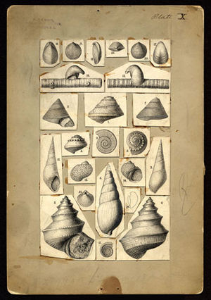 Fielding Bradford Meek - Drawings of mollusks by Fielding Bradford Meek