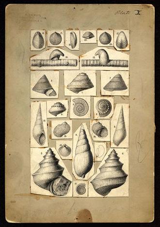 Fielding Bradford Meek - Drawings of mollusks by Fielding Bradford Meek