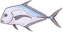 Indian threadfin (Alectis indicus).jpg