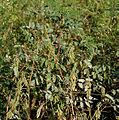 Indigofera astragalina (Phulzadi) W IMG 4076.jpg