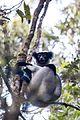 Indri indri 0004.jpg