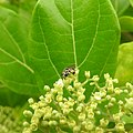 Insects Bee from Madayipara DSCN2101.jpg