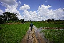 Inspection of rice fields in Apac, Uganda.jpg