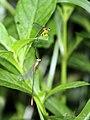 Interspecies mating attempt., Yellow Featherleg (Copera marginipes) male & Orange Tailed Marsh Dart (Ceriagrion cerinorubellum) female (42769852124).jpg