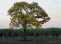 Ipê Amarelo (Tabebuia chrysotricha) e canavial de cana-de-açúcar (Saccharum officinarum) na rodovia SP-333 entre Jaboticabal e Taquaritinga. - panoramio.jpg