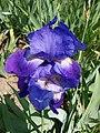 Iris 4 (Poltava Botanical garden).jpg
