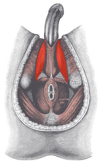 Ischiocavernosus muscle - Muscles of male perineum (ischiocavernosus visible at upper left)