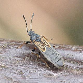 Blissidae Family of true bugs