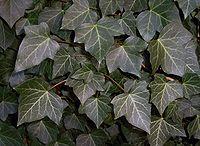 Ivy 77uf be