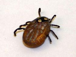 Image Result For Can Bush Ticks