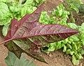 J. curcas x integerrima - leaf pigmentation (4737339395).jpg