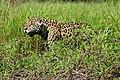Jaguar (Panthera onca) male on the river bank ... (29163545525).jpg