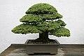 Japanese White Pine (Pinus parviflora) Miyajima (3505587650).jpg