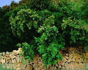 Ilex Wood. Majorca
