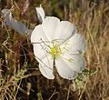 Joshua Tree National Park flowers - Oenothera deltoides - 5.JPG