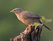 Jungle Babbler (Turdoides striatus) in Kawal, AP W IMG 1953